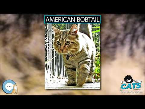 American Bobtail 🐱🦁🐯 EVERYTHING CATS 🐯🦁🐱
