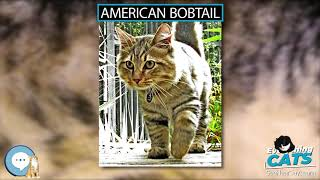 American Bobtail  EVERYTHING CATS