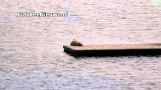 Zeehond in Ouddorp