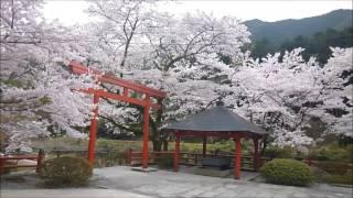 大寧寺・桜満開