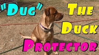 "Introducing ""dug The Dog The Duck Protector"" Dogue De Bordeaux Cross #121 Breeding Ducks"