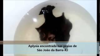 Aplysia encontrada nas praias de São João da Barra  RJ   Portal OZK