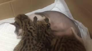Сервалы едят обычную кошку. Serval.