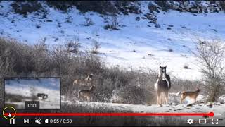 Interesting Footage Of A Horse Laying Down With Wolves - Why Would He Do This?