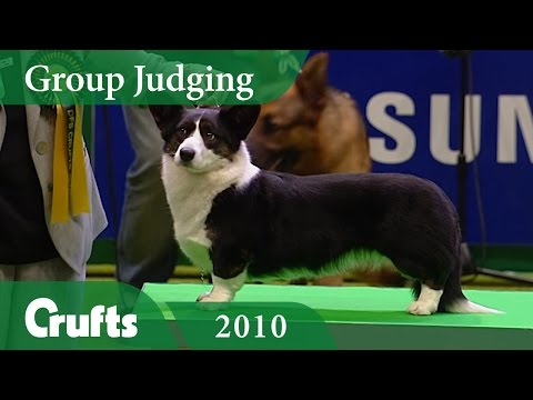 Cardigan Welsh Corgi wins Pastoral Group Judging at Crufts 2010 | Crufts Classics