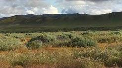 Meadow Lark near Soda Lake, Carrizo Plain National Monument