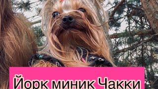 Мини Йорик -1кг. Моя третья собака! Все о Чакки,откуда он?