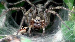 Gambar cover Labyrinth Spider (Agelena labyrinthica) - Close look - Animalia Kingdom Show