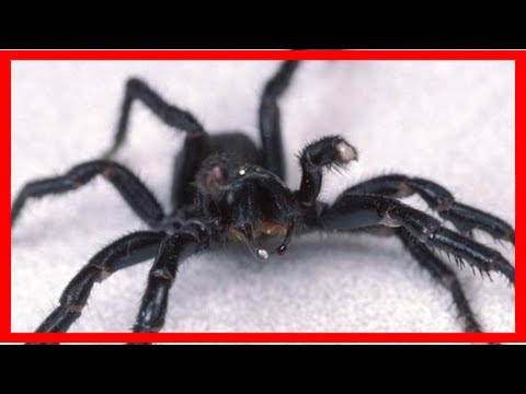 Breaking News | Funnel web spiders show promise for treating epilepsy, stroke