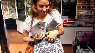 Russian Blue Cat Breeder (HD)