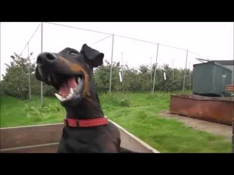 Chester the Manchester Terrier on the National Apple Day