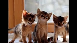 Абиссинская кошка - порода для дома