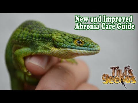 Everything you NEED to know before getting an Abronia Lizard! Abronia Care Guide