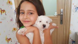 köpek aldım maltese terrier