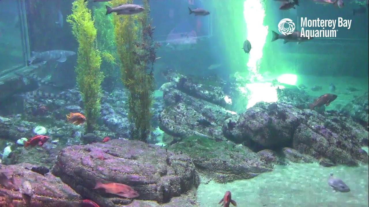 Live Shark Cam Monterey Bay Aquarium Youtube