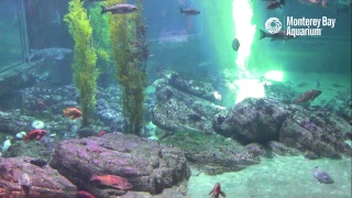 Live Shark Cam in HD - Monterey Bay Aquarium