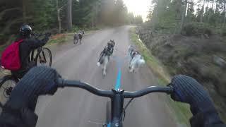 Kickbike mushing  with huskies and mexican hairless dog