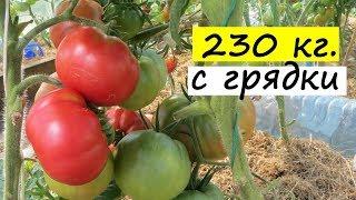 Помидоры в теплице: ЭТОТ МЕТОД ДАЕТ 230 кг. томатов С ОДНОЙ ГРЯДКИ! Будет большой урожай помидоров