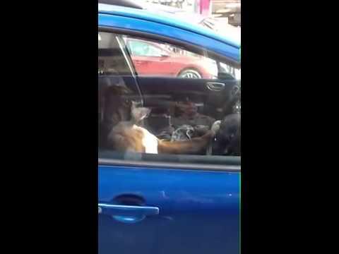 Boxer Dog sat in car blasting horn!!