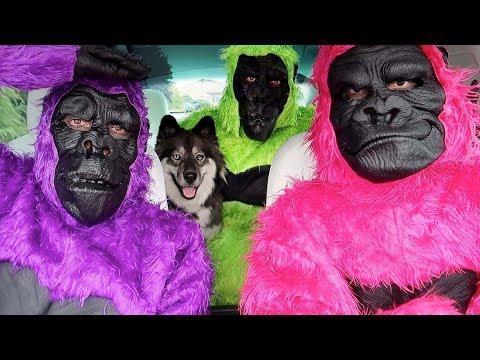 Funny Gorillas Surprise Kakoa With Dancing Car Ride!