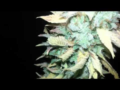 Girl scout cookies cali connection seeds