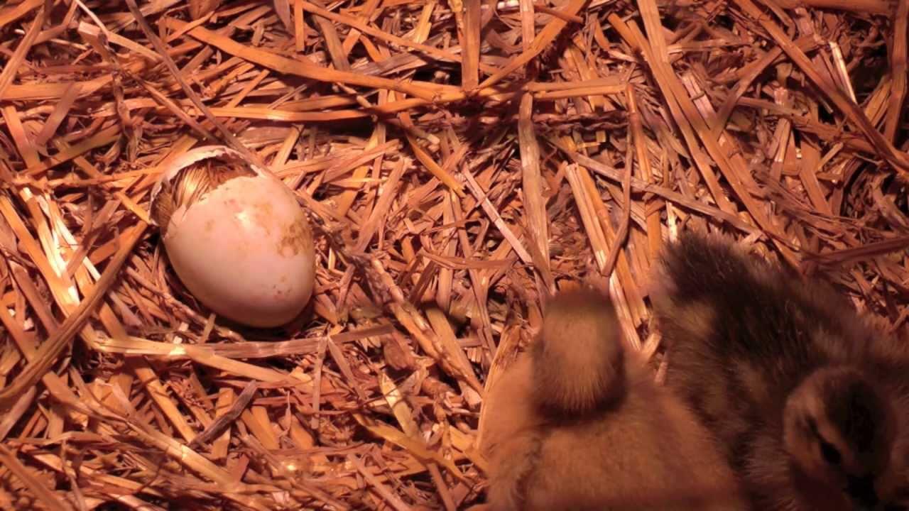 Ducklings hatching