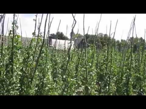 Выращивание фасоли яська белая крупная. Метод для зарабатывания бабла. // Олег Карп