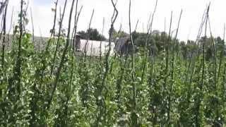 видео Технология выращивания фасоли