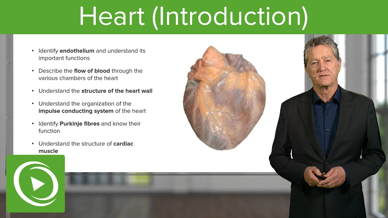 Heart: Structure, Function & Chambers  – Histology | Lecturio