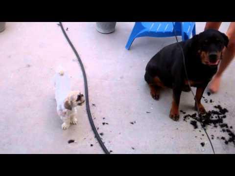 Rottweiler Gets A Haircut