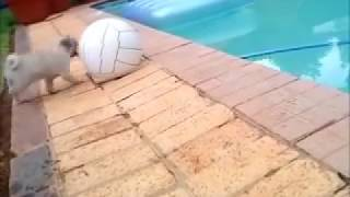 Pug Puppy At Pool - Funny Bob