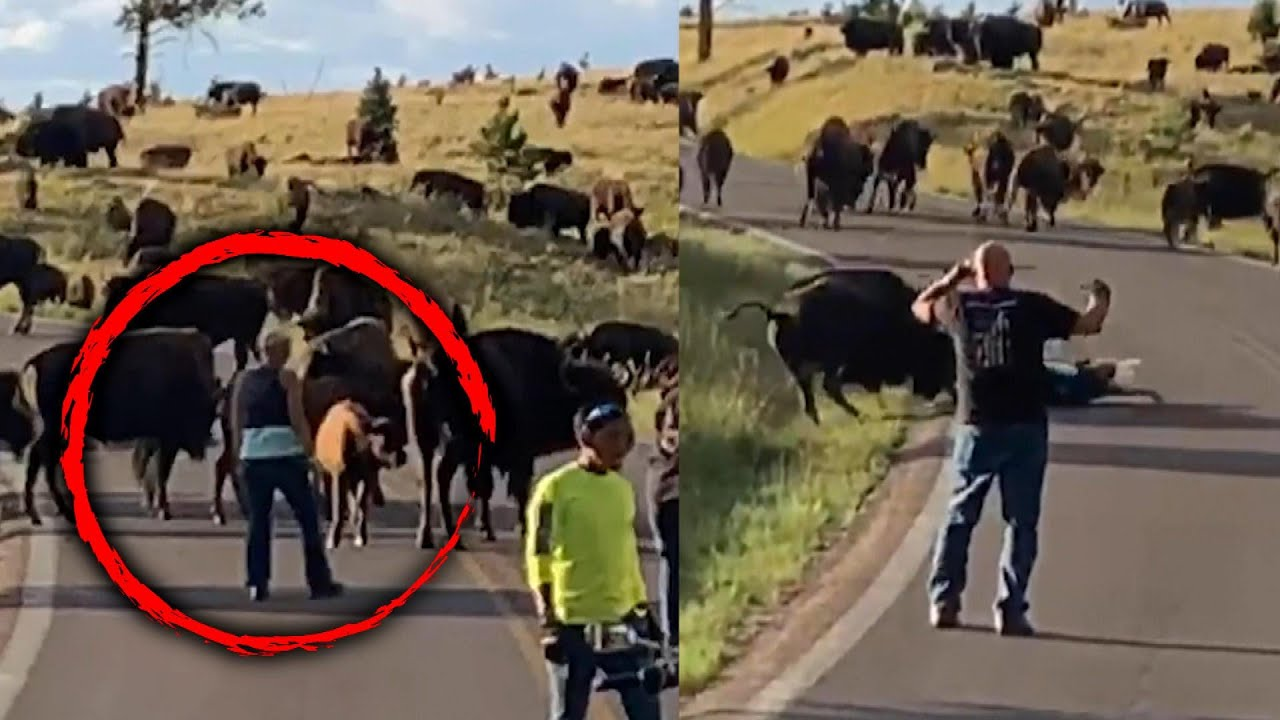 Download Bison Tosses Woman Out of Her Pants