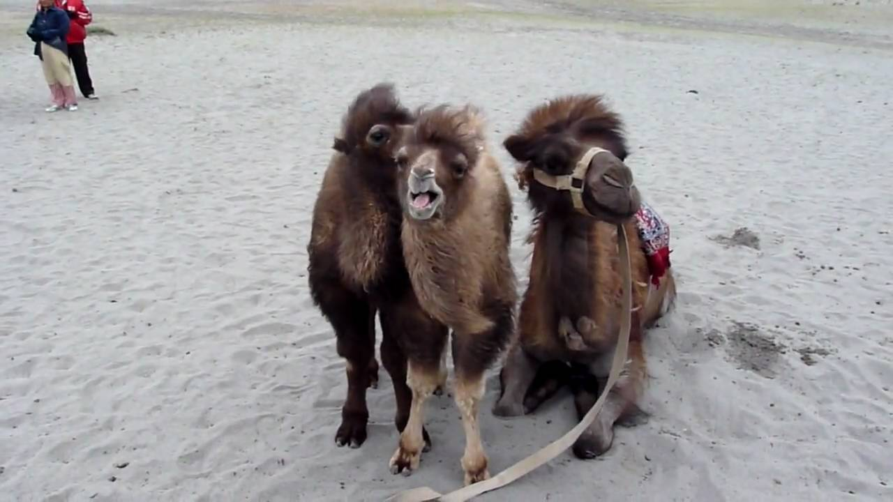 Singing WoolyDouble Humped Bactrian Camel Babies HD