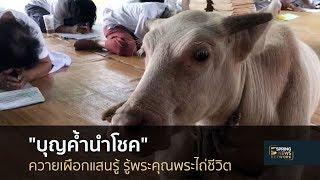 ลูกควายเผือกแสนรู้-รู้พระคุณพระไถ่ชีวิต-17-ส-ค-61-เมืองไทยใหญ่อุดม