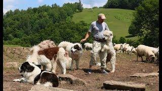 La stâna lui Doruț din Dealu' Strâmbii | Mulsul oilor și măsuratul laptelui - video I 2019 thumbnail
