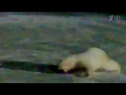 На острове Врангеля работник строительной компании жестоко покалечил белую медведицу.