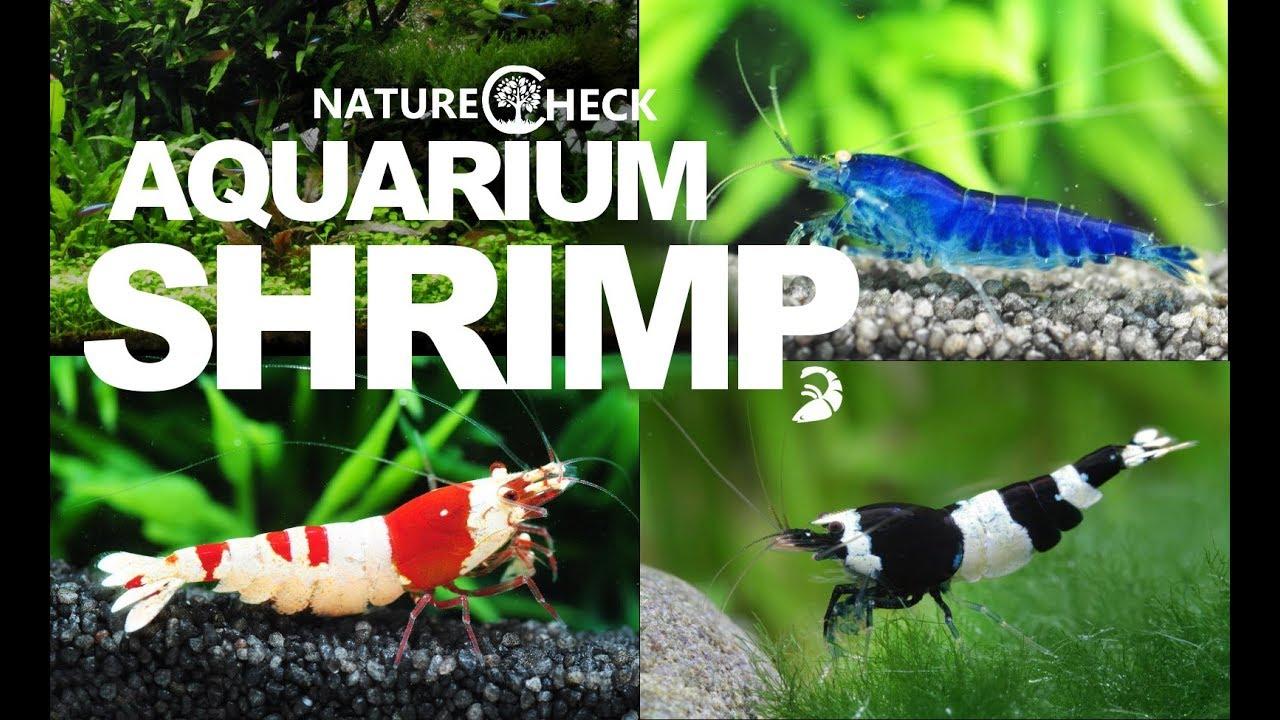 Aquarium Shrimp - 24 Different Breeds & Species for the ...