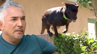 Nothing Can Stop This Dog From Escaping | Cesar 911