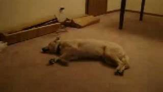 Hund träumt und läuft. thumbnail