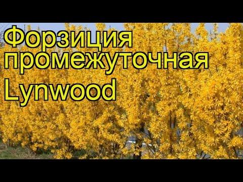 Форзиция промежуточная Линвуд. Краткий обзор, описание характеристик forsythia?intermedia Lynwood