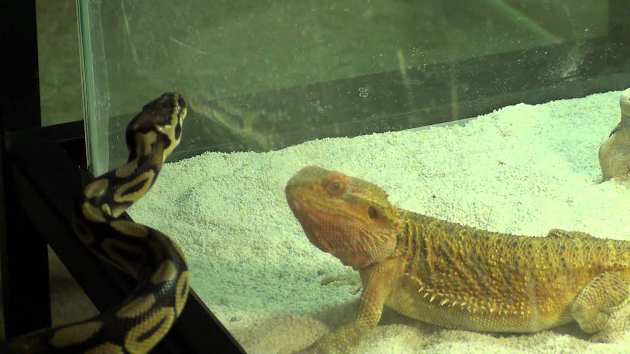 Bearded Dragon Vs Ball Python - Youtube-2871
