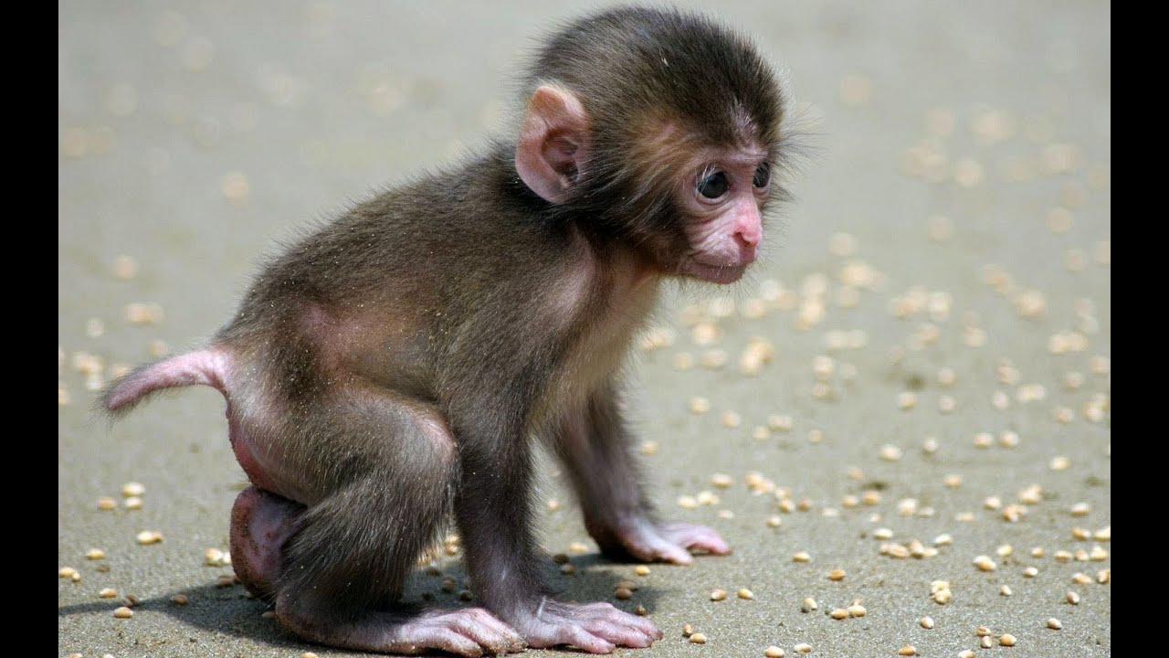 funny monkey | a cute and naughty baby monkey - youtube