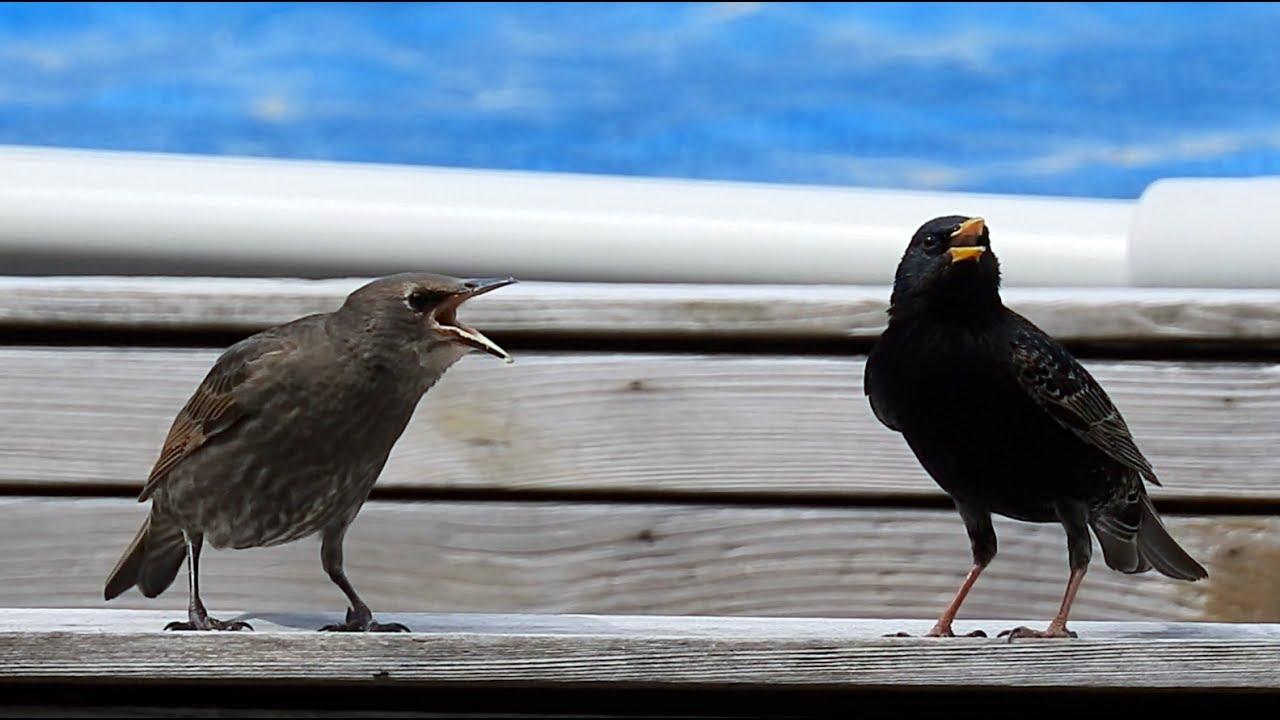 Common Starling: Juvenile, call  Sturnus vulgaris