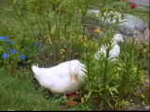 my pekin ducks! (domestic ducks)
