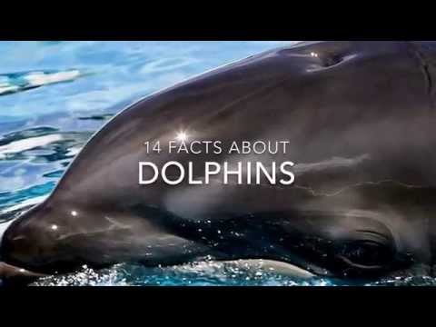 Dolphin Facts: 14 facts about Dolphins