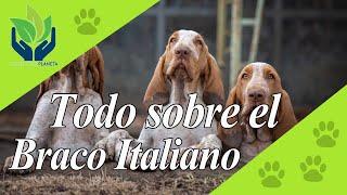 Braco italiano: todo sobre esta Raza de perro