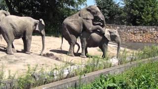 Kopulacja słoni w warszawskim zoo.