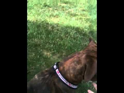 pit bull chasing a bunny