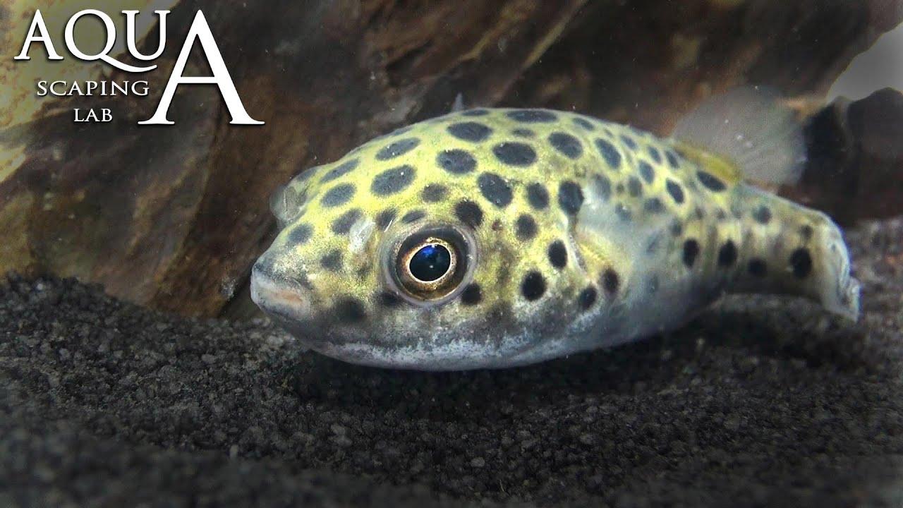 Aquascaping Lab - Green Spotted Dwarf Pufferfish, Tetraodon ...