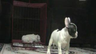 For Sale French Bulldogs Champion Breed